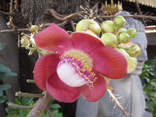 shorea robusta flower of Shorea Robusta…